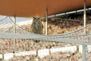 A European eagle owl (Bubo Bubo), the world's largest owl, sits above the goal and interrupts the Group A Euro 2008 qualifying soccer match Finland vs Belgium at the Olympic Stadium in Helsinki, 06 June, 2007. AFP PHOTO LEHTIKUVA / Antti Aimo-Koivisto *** FINLAND OUT *** (Photo credit should read ANTTI AIMO-KOIVISTO/AFP/Getty Images)